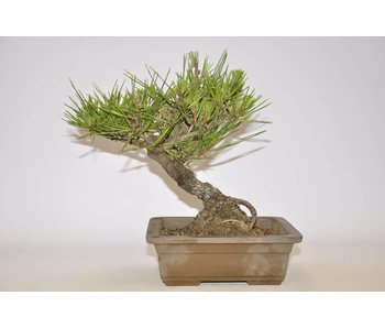 Pinus Thunbergii 230mm