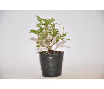 Ligustrum Obtusifolium   8cm
