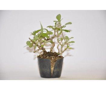 Ligustrum Obtusifolium   9cm