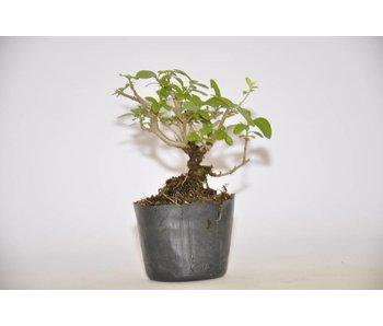 Ligustrum Obtusifolium   7cm