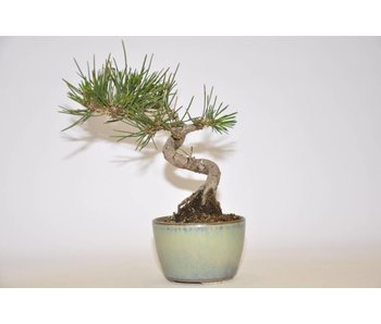 Pinus Thunbergii 130mm