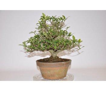 Gardenia Jasminoides 220mm
