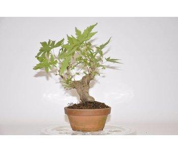 Acer Palmatum 170mm