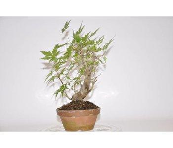Acer Palmatum 190mm