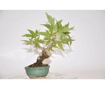 Acer Palmatum 140mm