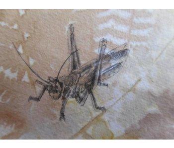 Grasshopper Shikishi 13x12 cm