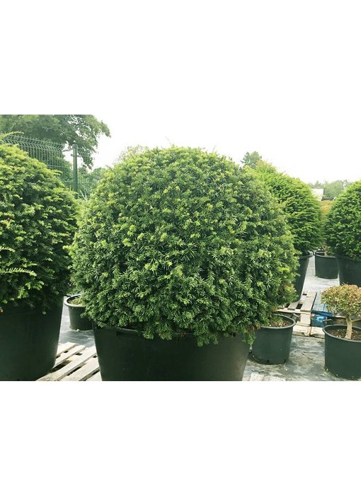 Taxus baccata ball  60cm