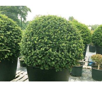 Taxus baccata ball 100cm
