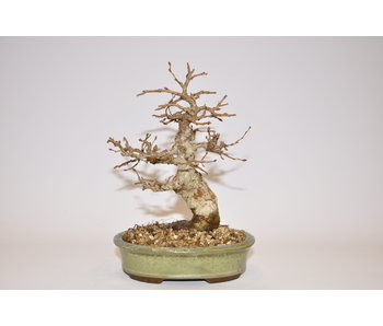 Carpinus Koreana 16cm