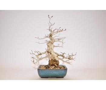 Carpinus Koreana 24cm