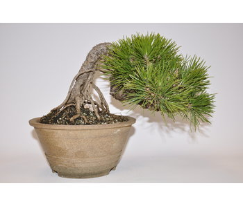 Pinus Thunbergii 150mm