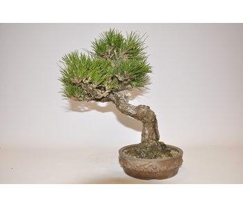 Pinus Thunbergii 290 mm