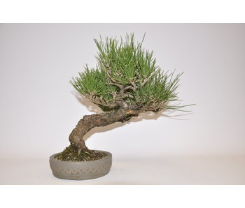 Pinus Thunbergii 280mm