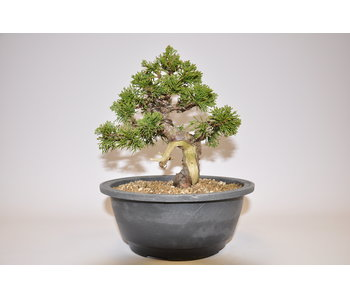 Juniperus chinensis, Itoigawa 170 mm