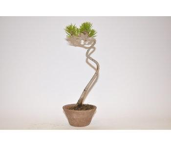 Pinus Thunbergii 240mm