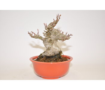 Acer Palmatum 110mm