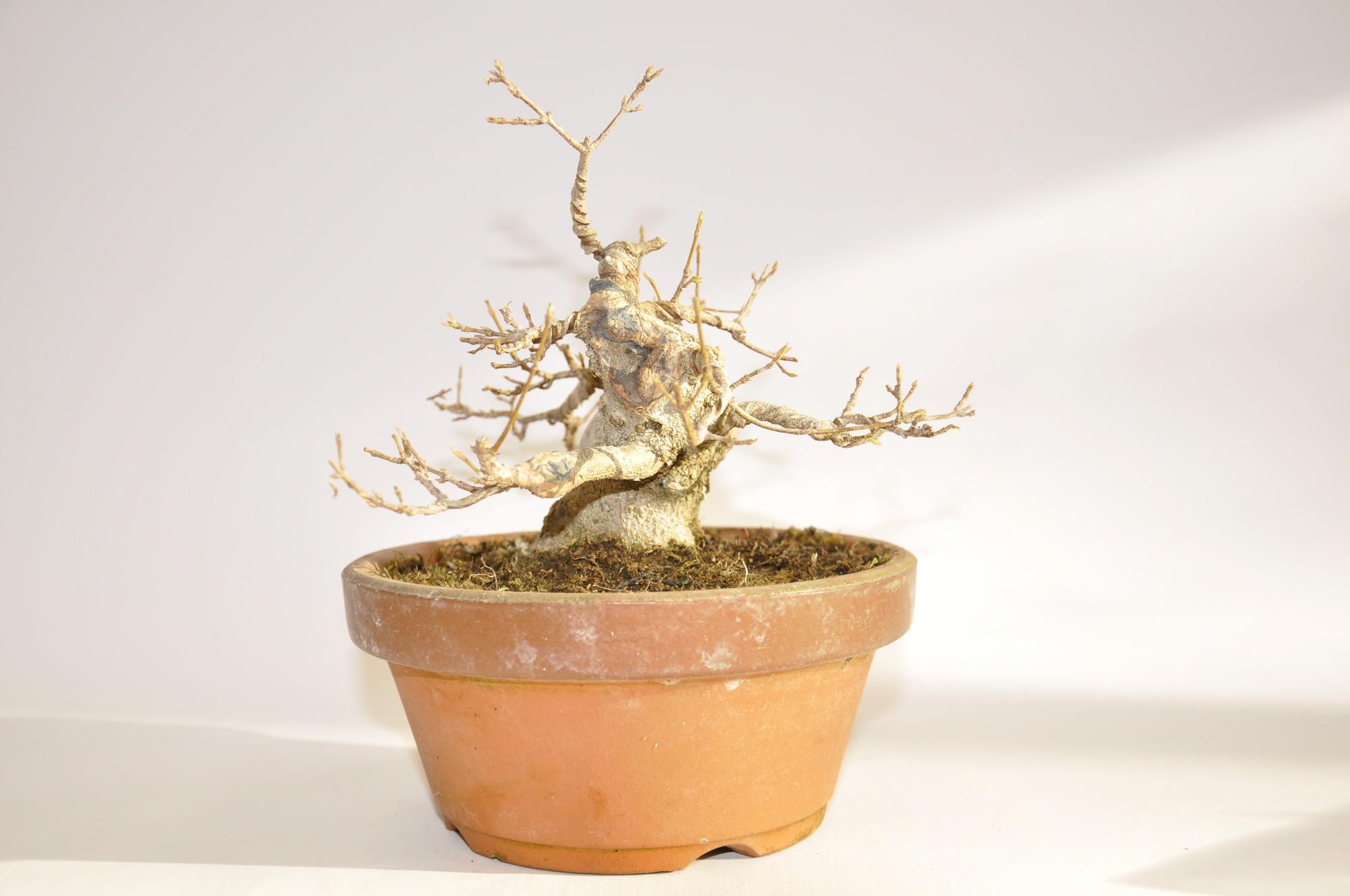 Acer Buergerianum Bonsaiplaza
