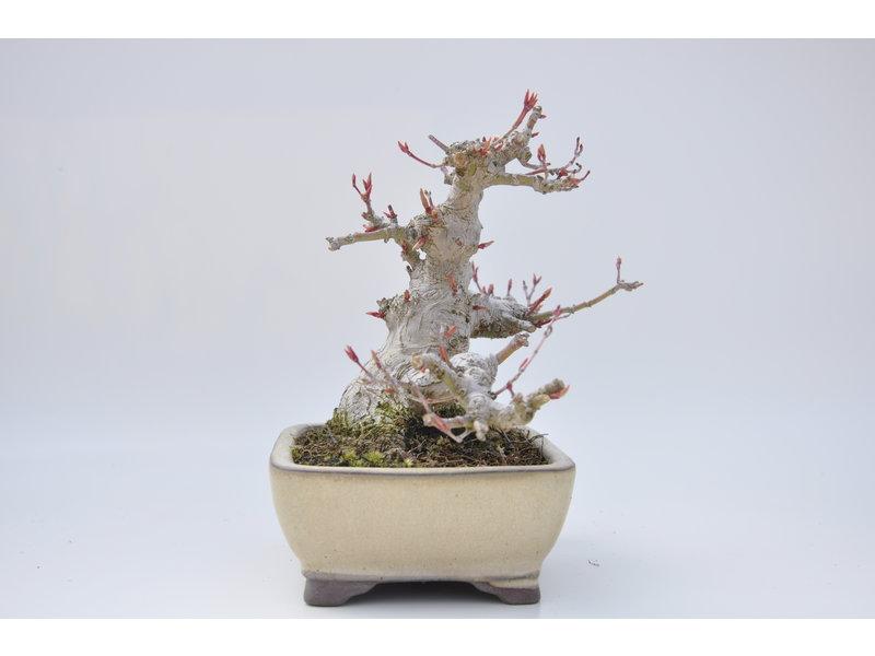 Acero giapponese