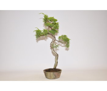 Juniperus chinensis, Itoigawa 340 mm
