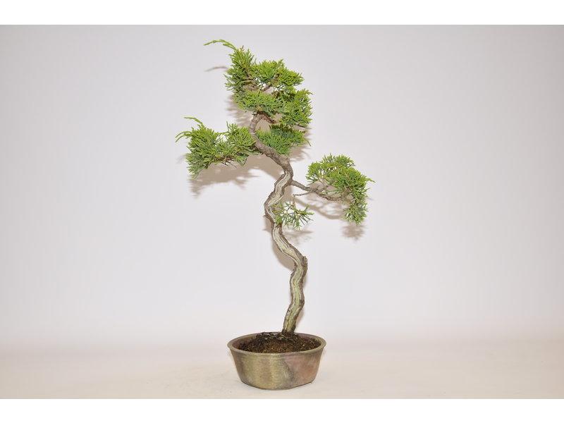 Juniperus chinensis, Itoigawa
