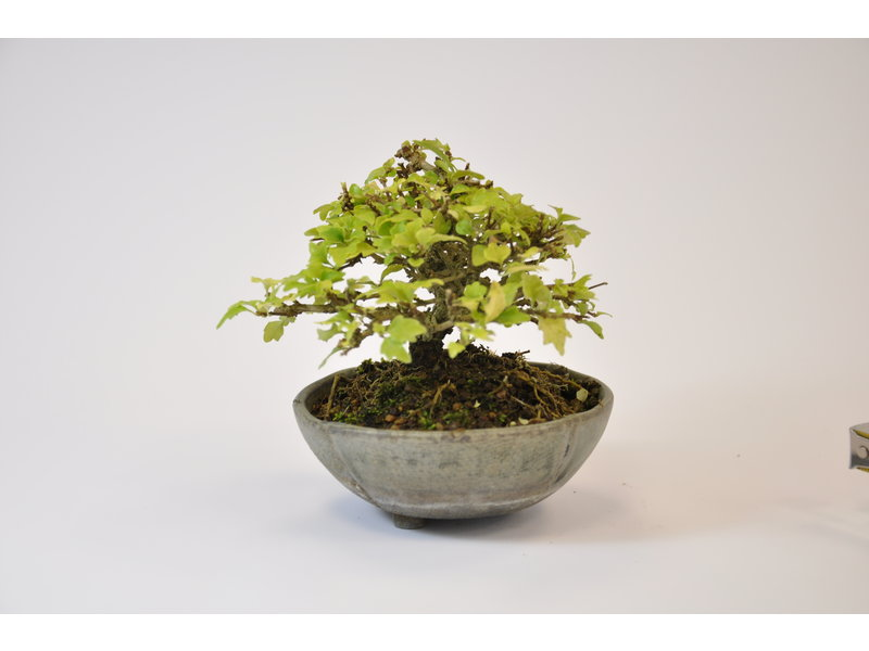 Musk Maple - 81 mm - 8946