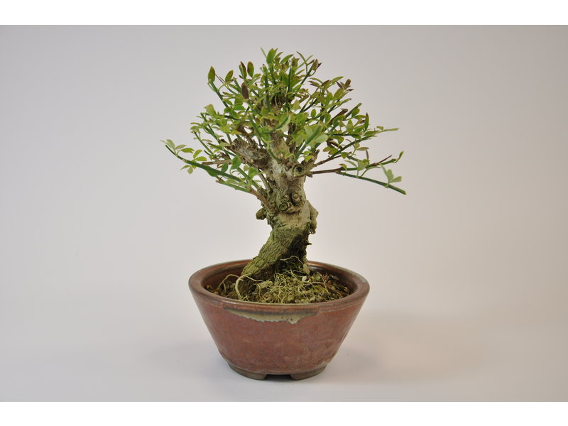 Jasminum Nudiflorum Bonsai 13 cm