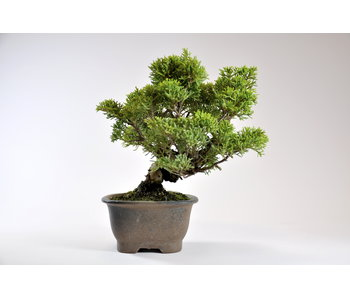 Juniperus Chinensis Itoigawa 170 mm