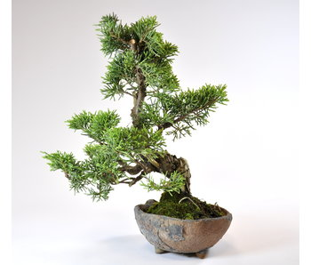 Juniperus Chinensis Itoigawa 190 mm