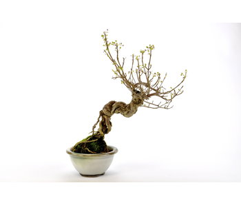 Japanese Mulberry 220 mm, ca. 12 years old