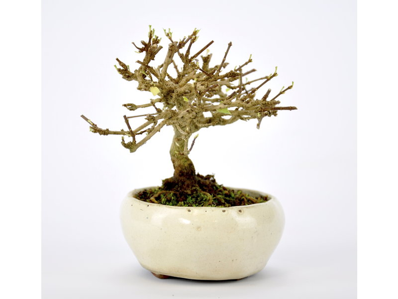 Musk Maple Bonsai 80 mm, ca. 12 years old
