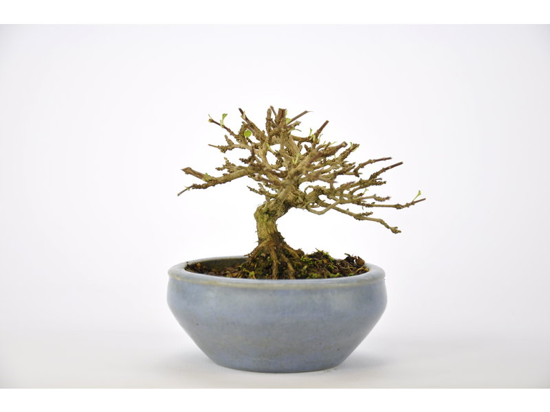 Musk Maple Bonsai 65 mm, ca. 12 years old