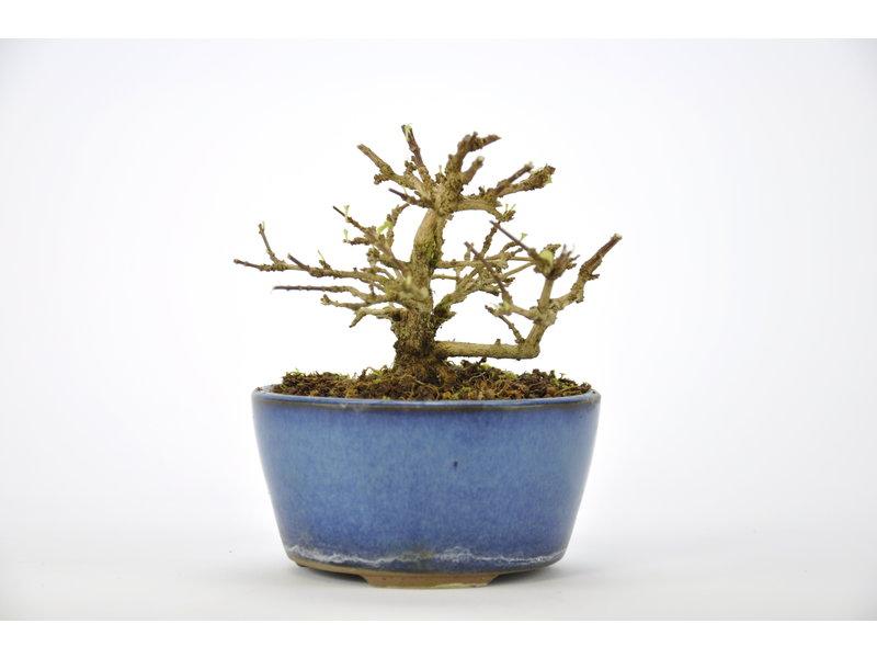 Moschusahorn Bonsai 70 mm, ca. 12 Jahre alt