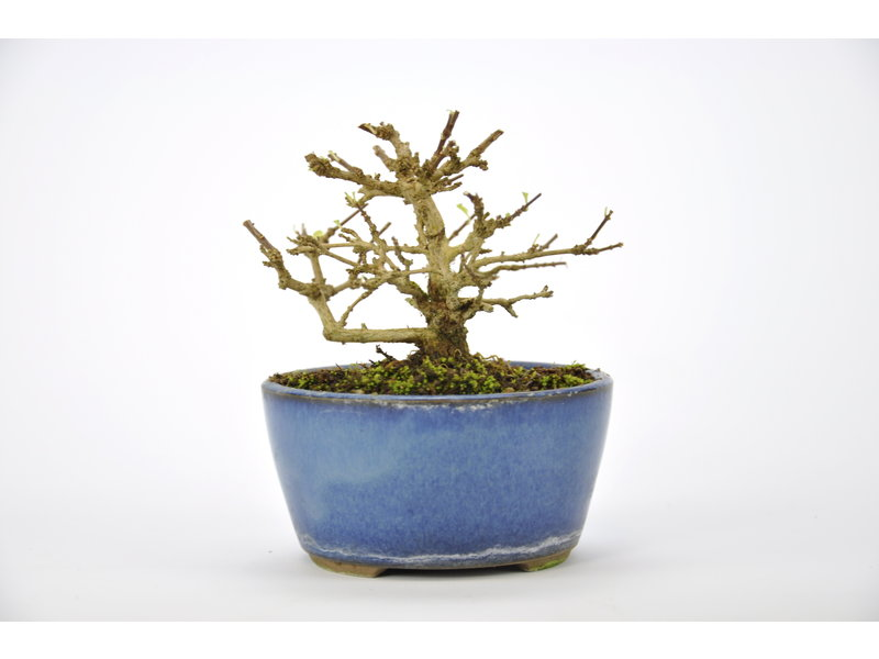 Musk Maple Bonsai 70 mm, ca. 12 years old