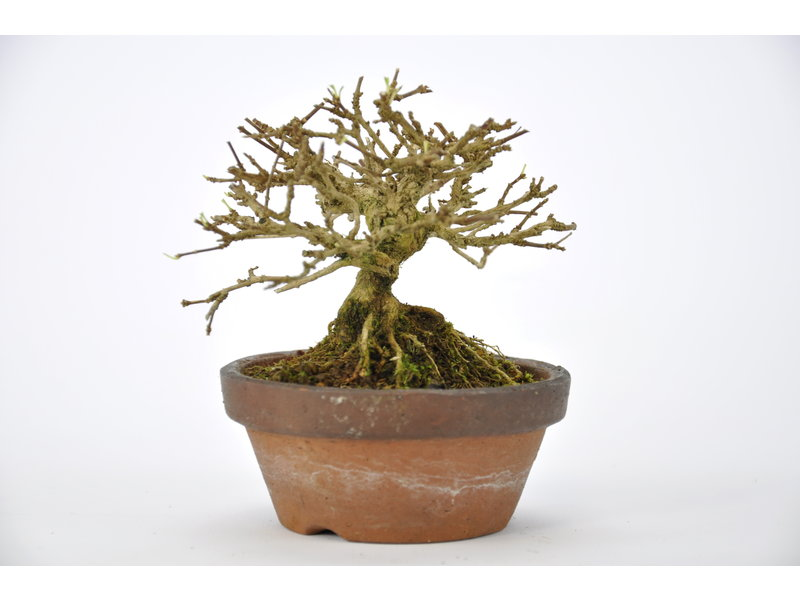 Musk Maple Bonsai 75 mm, ca. 12 years old