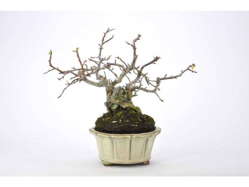 Redbud Crabapple 130 mm, ca. 18 years old