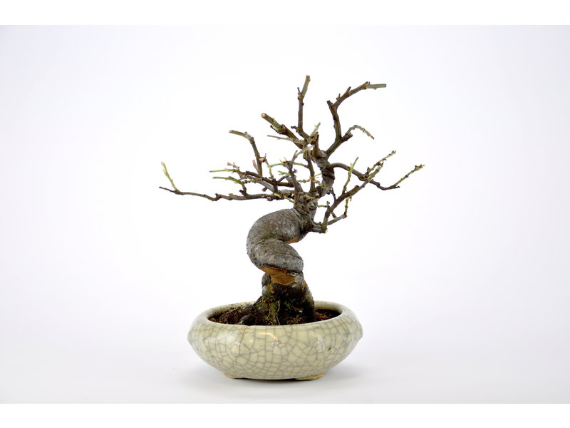 Chinese Quince 150 mm, ca. 18 years old