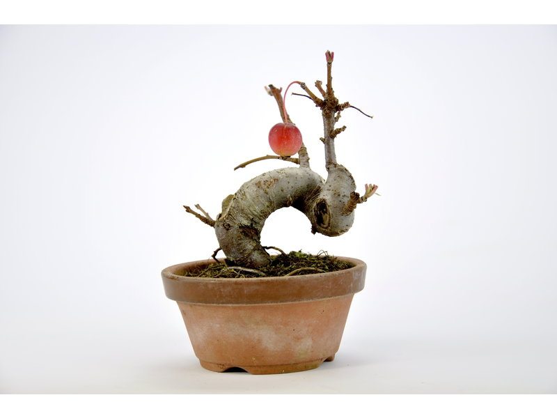Japanese Crabapple 110 mm, ca. 10 years old