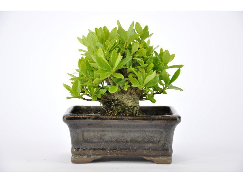Cape Jasmine / Gardenia Augusta 75 mm, ca. 12 years old
