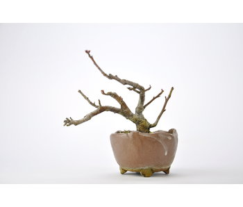 Japanese Crabapple 110 mm, ca. 6 years old