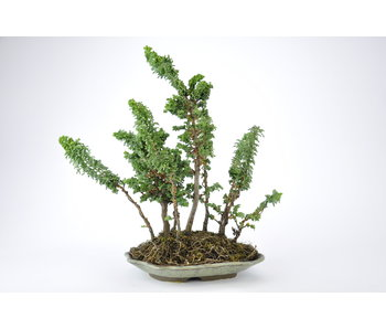 Hinoki Cypress 250 mm, ca. 10 years old