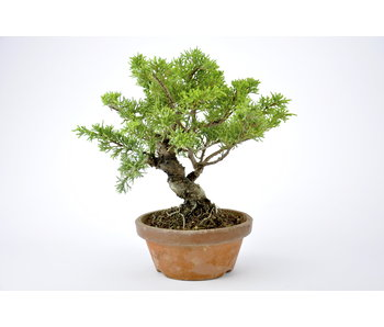 Juniper 170 mm, ca. 11 years old