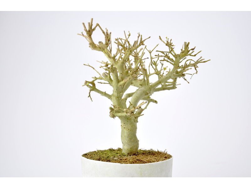 Chinese Privet 150 mm, ca. 12 years old
