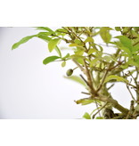 Chinese Privet 140 mm, ca. 12 years old