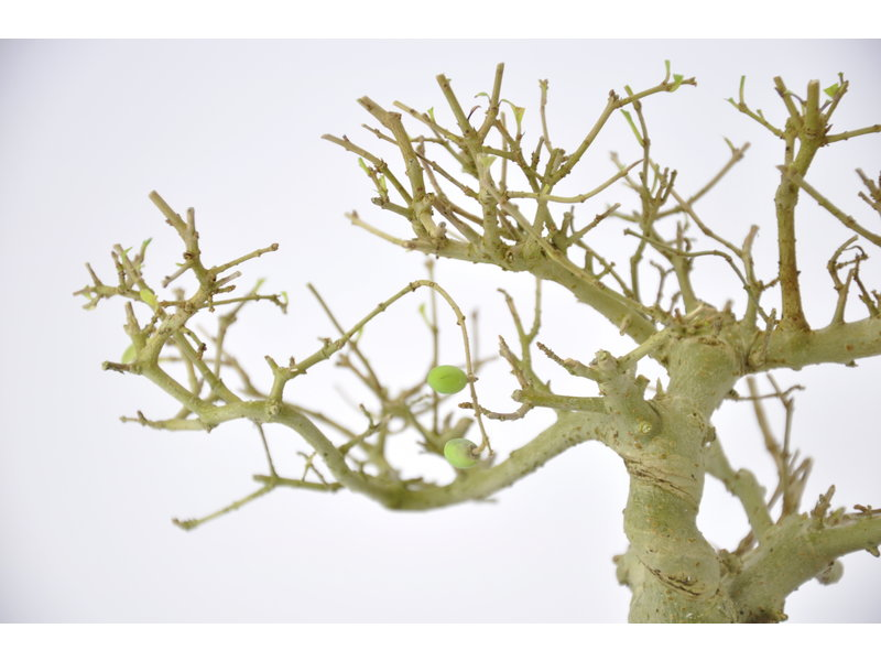 Chinese Privet 120 mm, ca. 12 years old