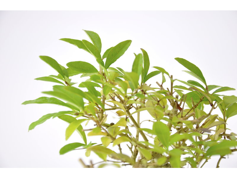 Chinese Privet 130 mm, ca. 12 years old