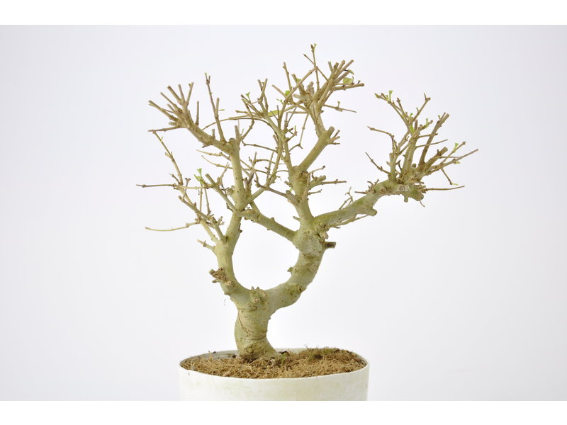 Chinese Privet 170 mm, ca. 12 years old