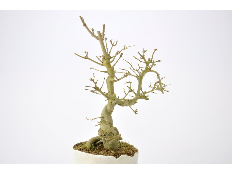 Chinese Privet 180 mm, ca. 12 years old