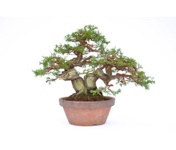 Juniper 280 mm, ca. 35 years old
