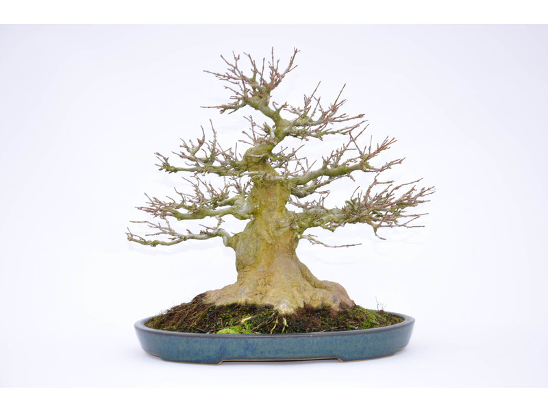 Trident Maple 240 mm, ca. 30 years old