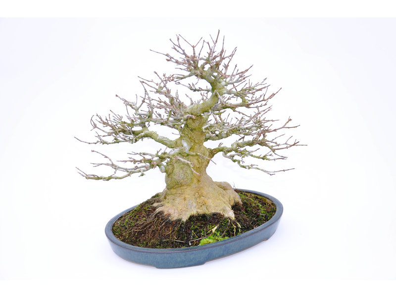 Trident Maple 240 mm, ca. 30 ans